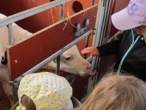 Några av kalvarna var lite nyfikna, de minsta var bara 14 dagar gamla. De åt 8ggr om dagen bla 6 lit mjölk.