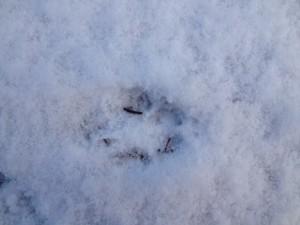 Spår av räv.